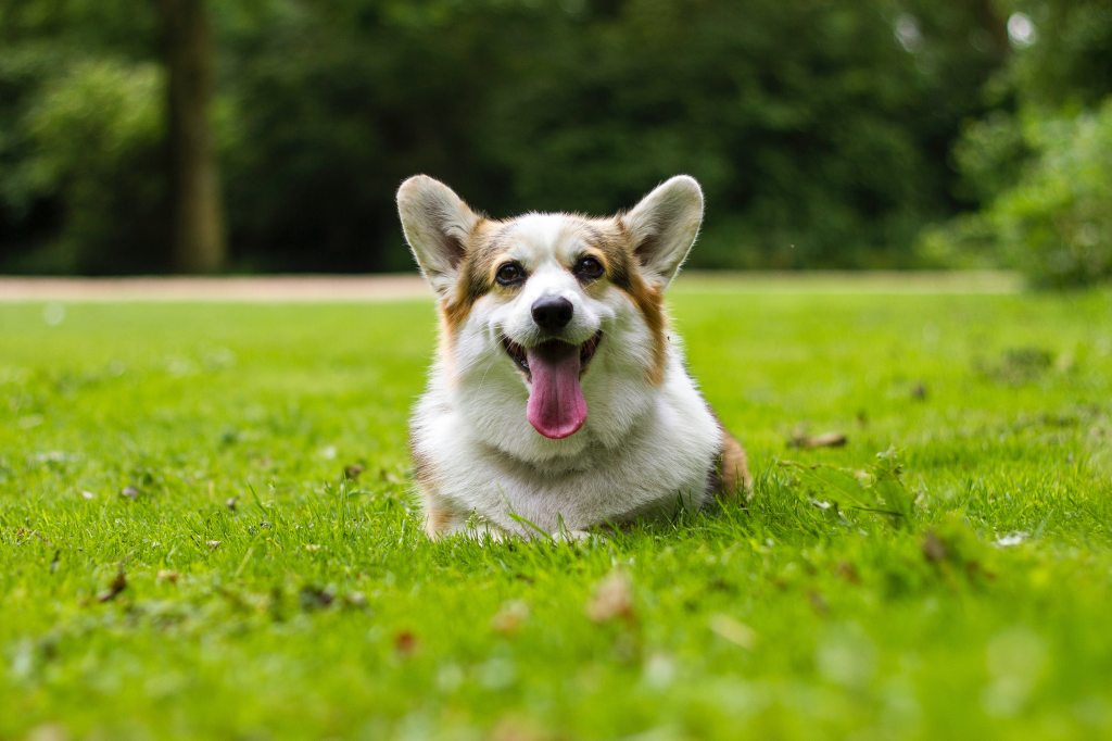 Happy corgie dog sitting in a lovely green space with grass and trees